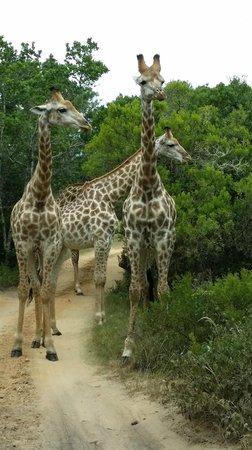 Seaview Lion Park: Giraffes on the road