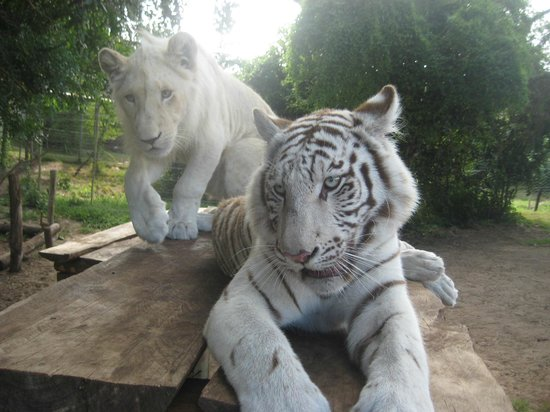 Seaview Lion Park: What a couple - a white lion and a white tiger