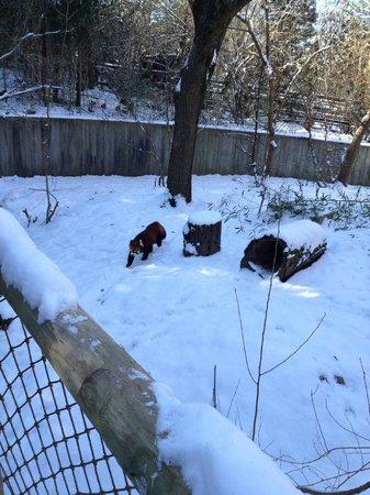 Cincinnati Zoo & Botanical Garden: Red Panda in outdoor exhibit