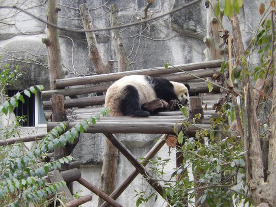 Giant Panda Breeding Research Base (Xiongmao Jidi): Panda