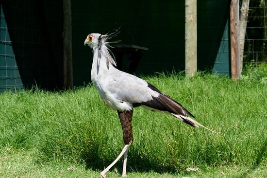 Eagle Encounters South Africa: Secretary Bird (The Snake Killer) at Eagle Encounters.