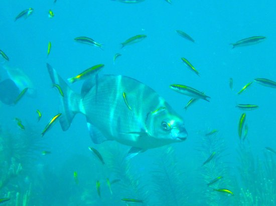 Silk Cay: Shoals of small fish abound. Bigger fish on far reef edge
