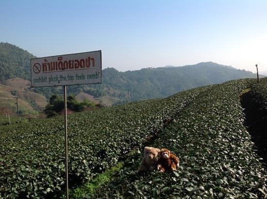 Doi Mae Salong : tea plantation with critters