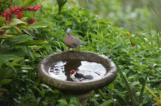 Waipio Rim : Birds bathing in the fountain outside our room