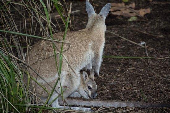Wildlife Habitat Port Douglas: Kangaroo with her joey