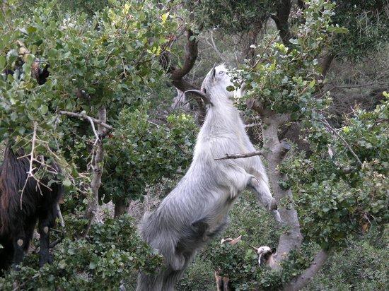 Olive Tree Cottages: goat standing for food