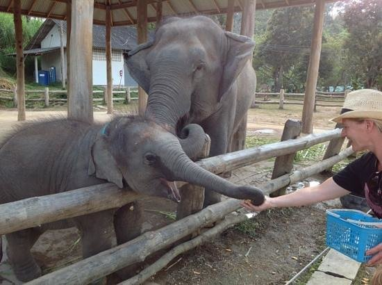 Thai Elephant Conservation Center : hungry calf