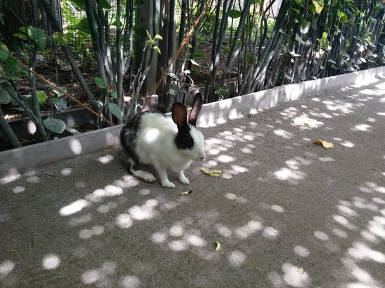 Soneva Fushi : Dutch bunny at SF's organic farm