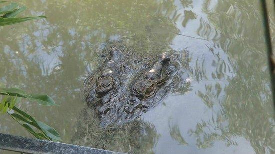 Hartley's Crocodile Adventures: Saltwater crocodile