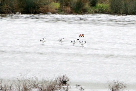 WWT Slimbridge Wetland Centre: Avocets seen at Slimbridge WWT