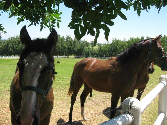 The Avontuur Estate Restaurant : lovely stud walk to see the horses