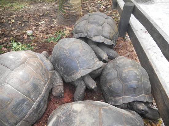 Anse Lazio : turtles 4