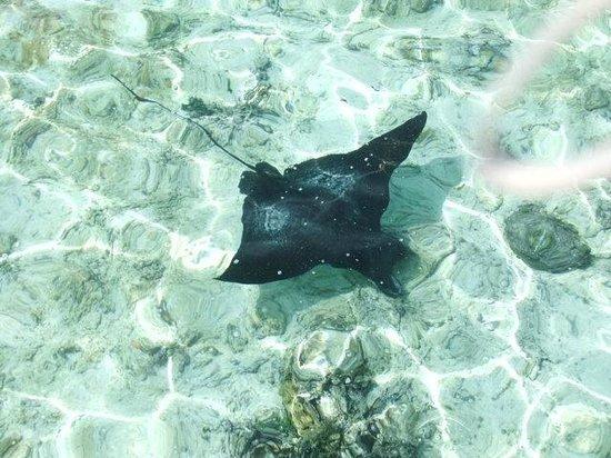 Cinnamon Hakuraa Huraa Maldives: Eagle Ray spotted in the Lagoon