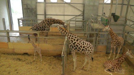 Paignton Zoo Environmental Park: Rothschild's giraffes