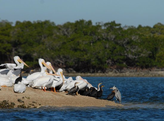 Everglades Area Tours : White Pelicans with Friends on the Sand Bar