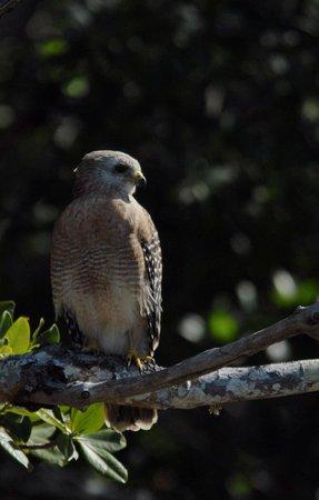 Everglades Area Tours: Red Shoulder Hawk
