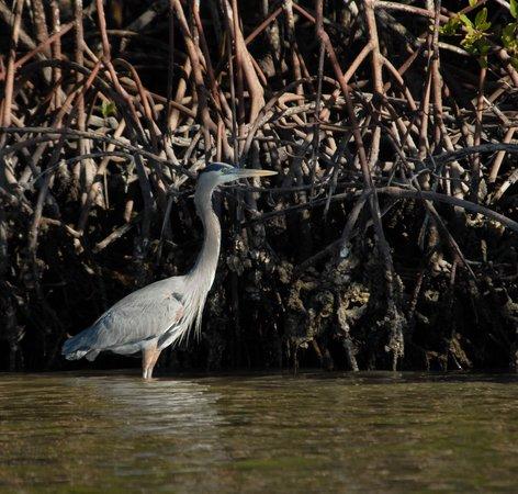 Everglades Area Tours: Great Blue Heron