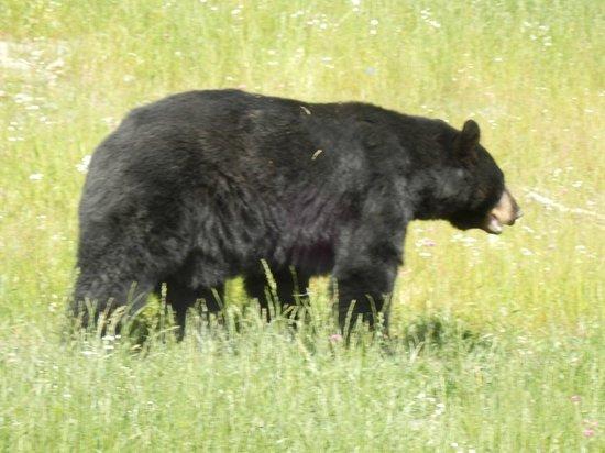 Alaska Wildlife Conservation Center: Black Bear