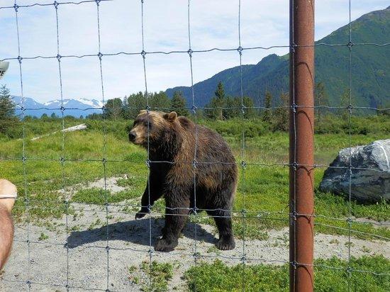 Alaska Wildlife Conservation Center: Grizzly