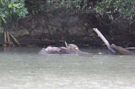 Gatun Lake: Lake Gatun turtle