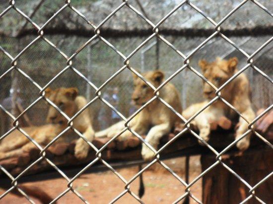 Nairobi Education Centre - Animal Orphanage: The Lion Group