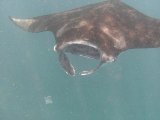 Blue Corner Dive : Manta Ray