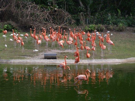 Jungle Island: фламинго