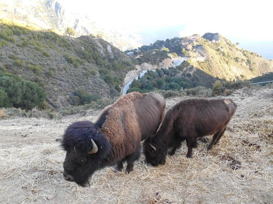 Almunecar, Spain: Buffalo