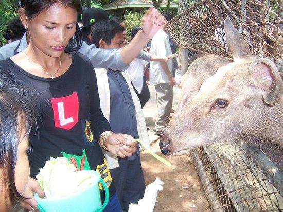 Koh Kong, Kambodsja: feeding the deer