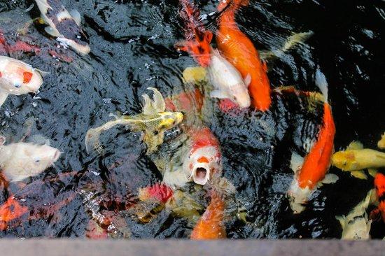 Sukun Bali Cottages : Рыбки в отеле