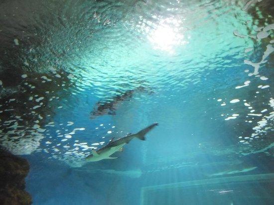 Lanzarote Aquarium : Rekiny