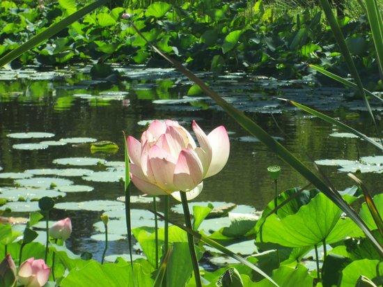 Rothman Manor: See mit Lotusblumen und Seerosen