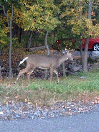 Cove Haven Resort: Honest Phil..  the deer whisperer