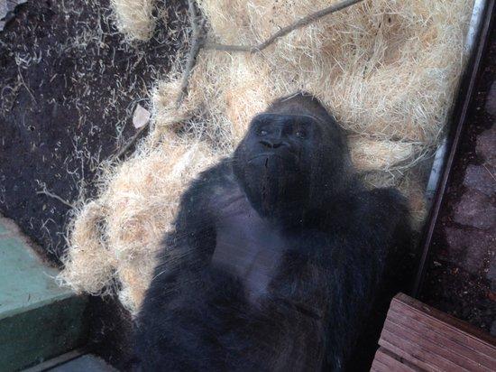 Tierpark Hellabrunn: Gorilla