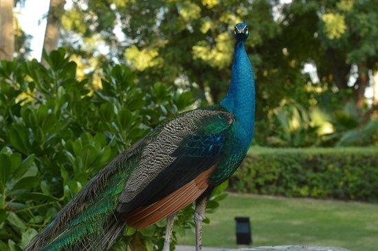 JA Palm Tree Court: So many beautiful peacocks