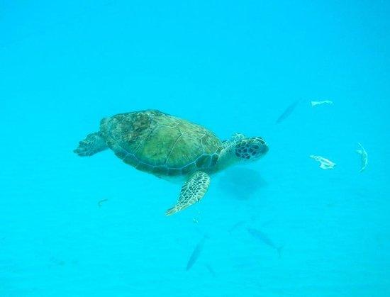 Shasa Catamaran Cruises: Friendly turtle