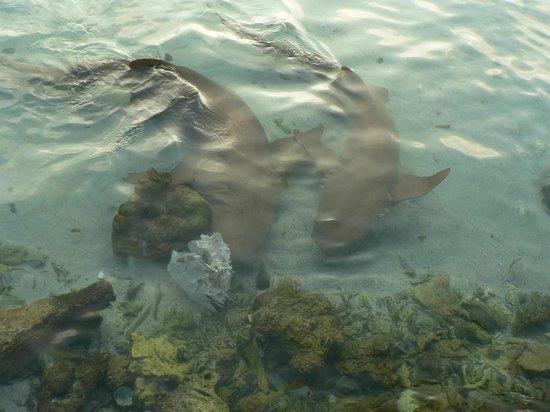 Rihiveli by Castaway Hotels & Escapes: Requins Dormeurs au village Maldivien