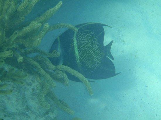Akumal Beach: French Angelfish