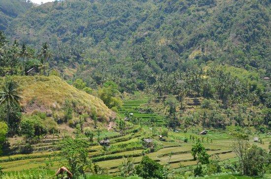 Amed Scuba Tauchzentrum : Reisfelder