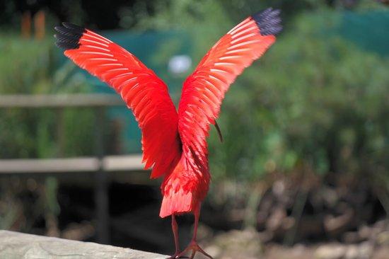 Birds of Eden: Scarlet Ibis