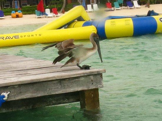 X'tan Ha Resort: Even pelicans love X'Tan Ha