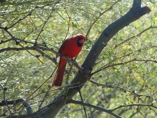 Sabino Canyon: always see cardinals