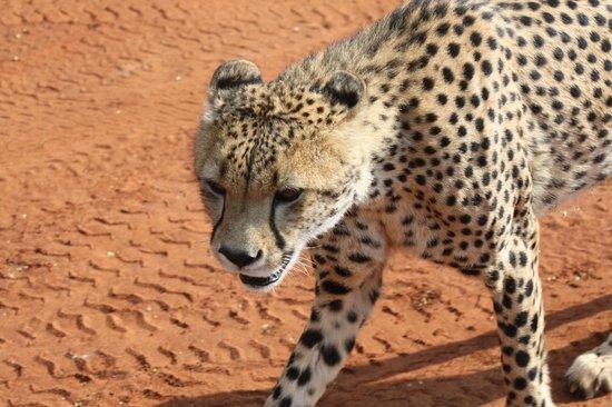 Sanctuary Makanyane Safari Lodge: Cheetah