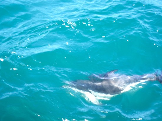 Dolphin Encounter: dusky dolphin