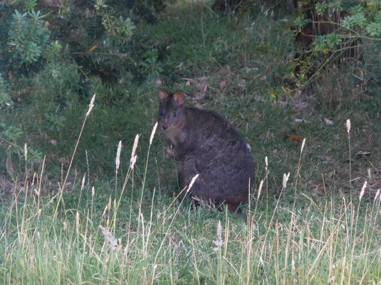 Beachside Retreat West Inlet : pademelon
