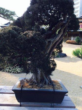 Happoen Garden: 520年の盆栽