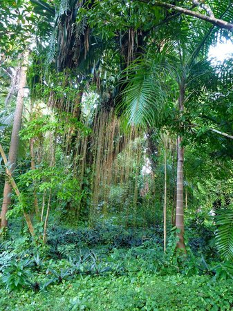 Frenchman's Cove: Guango tree - only one with vegetation at roots
