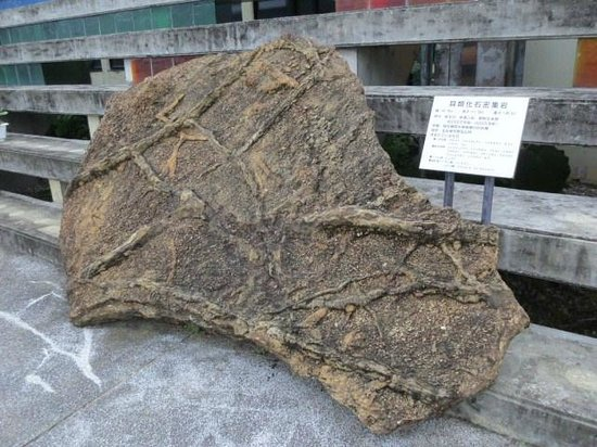 Miyakojima City Museum: 貝類化石密集岩