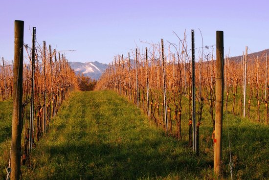 Amarone Brunelli - Wines since 1936: View on the vineyard