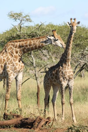 Leopard Mountain Safari Lodge : Part of the Journey of Giraffe
